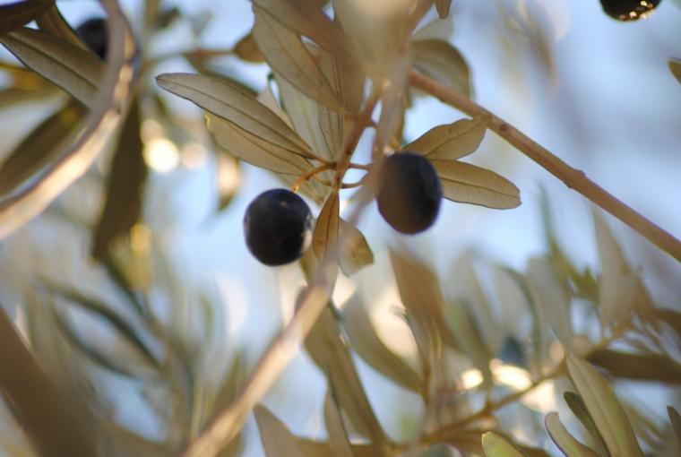 raccolta olive - foto Silvia C. Turrin