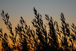 ulivi e tramonto tavernes 2013-11-12 007