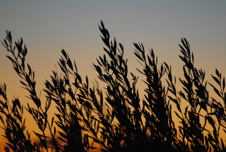ulivi e tramonto