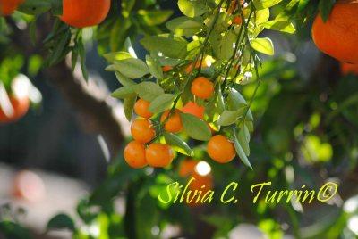 Mimosalia 2015 dedicata agli Agrumi - foto di Silvia C. Turrin©