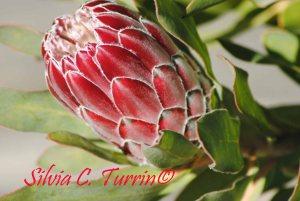Protea - Mimosalia 2015 ---- foto di Silvia C. Turrin©