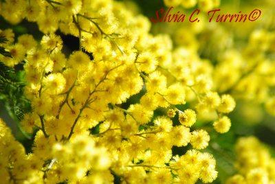 Mimosalia 2015 - foto di Silvia C. Turrin©