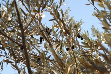 raccolta olive 2013 2013-11-29 007