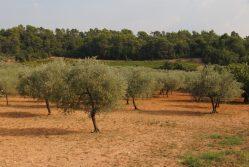 distese di ulivi nella Provenza Verde - foto Provenza da Scoprire