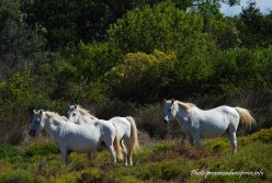 cavalli bianchi della Camargue
