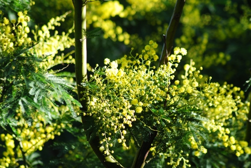 Mimosalia foto Silvia C. Turrin